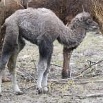 najmłodszy członek rodziny wielbłądów