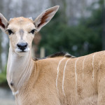 samiec elanda w wieku 3 tygodni
