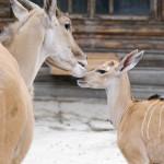 antylopa eland z matką
