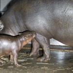 dwutygodniowy hipopotam karłowaty