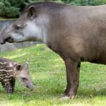 młody tapir w wieku 4 tygodni