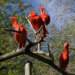 ibisy purpurowe