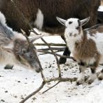 kozy karłowate
