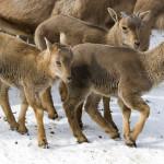 owieczki grzywiaste arui