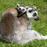 młody lemur katta na grzbiecie matki