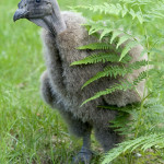 kondor wielki w wieku 5 tygodni