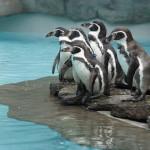 Pingwiniarnia w krakowskim ZOO