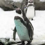pingwiny Humboldta