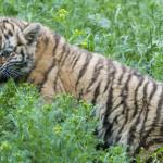 tygrysek amurski