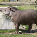 tapir anta na pierwszym wiosennym spacerze