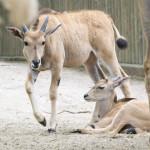 młode antylopy eland