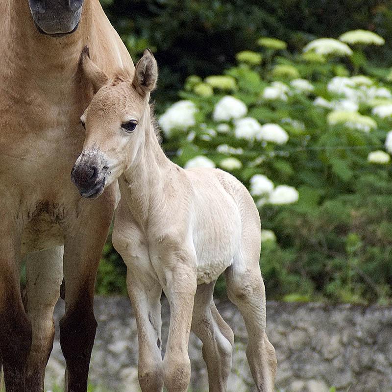 Koń Przewalskiego (Equus przewalskii)
