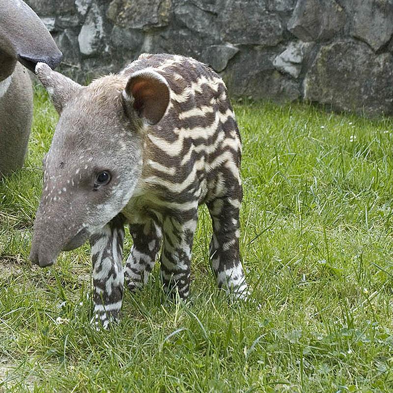 Tapir anta (Tapirus terrestris)