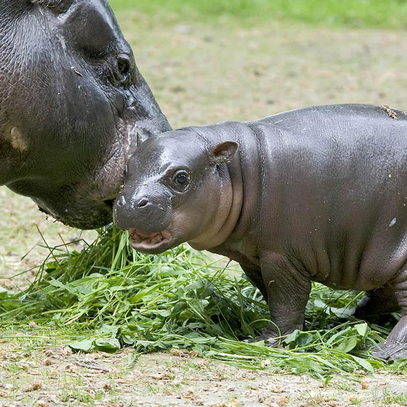Hipopotam karłowaty (Hexaprotodon liberiensis )