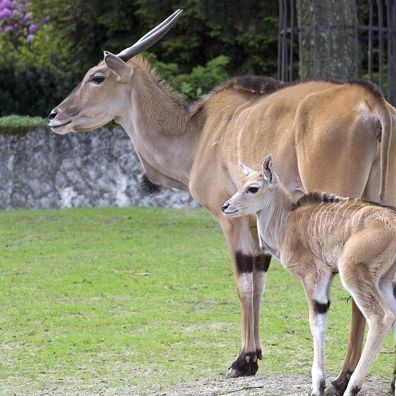 Antylopa eland (Taurotragus oryx)