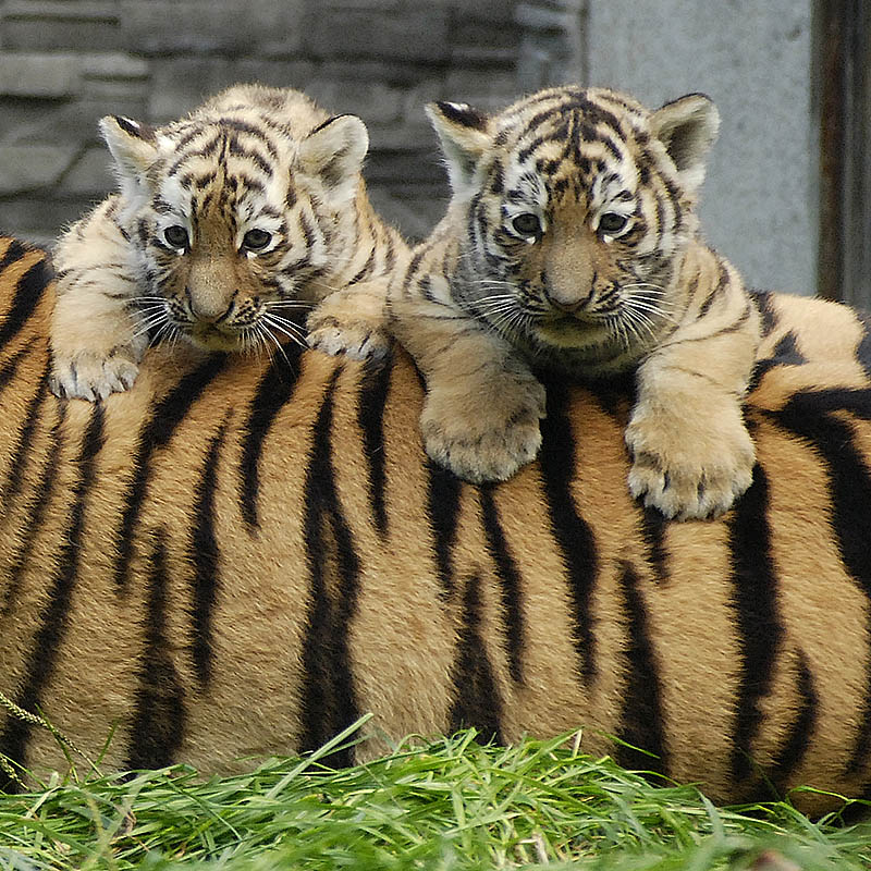 Tygrys amurski (Panthera tigris altaica)
