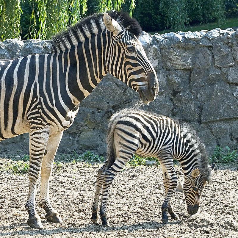 Zebra Chapmana (Equus burchelli chapmanni)