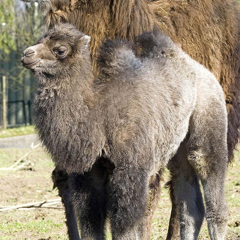 Wielbłąd dwugarbny (Camelus bactrianus)