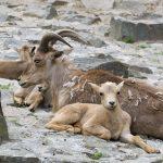 owce grzywiaste arui