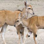 młode samce antylopy eland