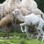 samiczkia wielbłąda w wieku 3 tygodni
