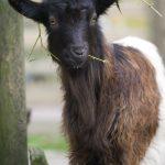 waliserska koza czarnoszyja