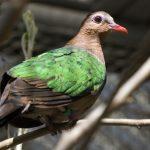 gołąbek zielonoskrzydły